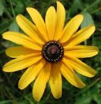Black Eyed Susan: The Official Flower of Highland Park